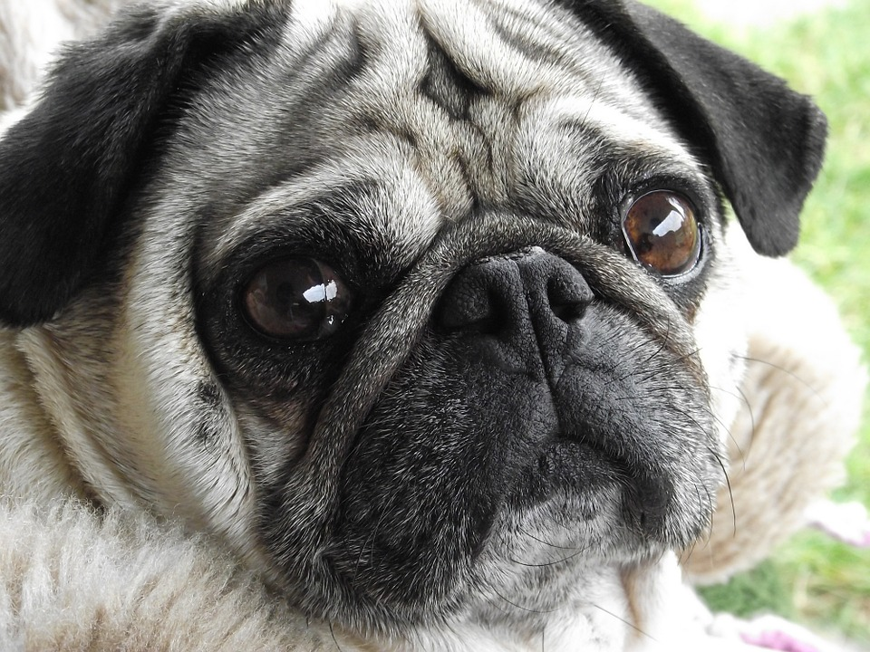 cute pug face closeup