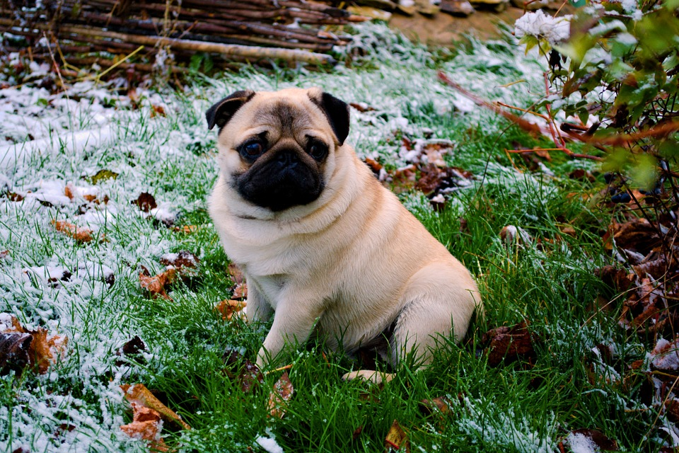 cute pug puppy in the snow