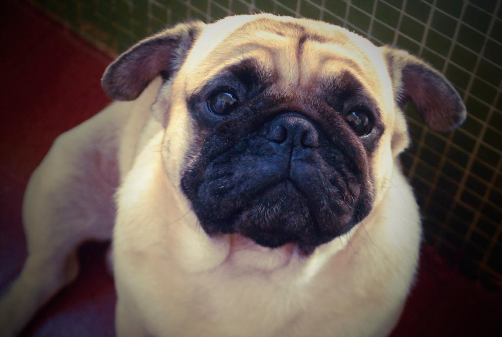 cute_wistful_pug