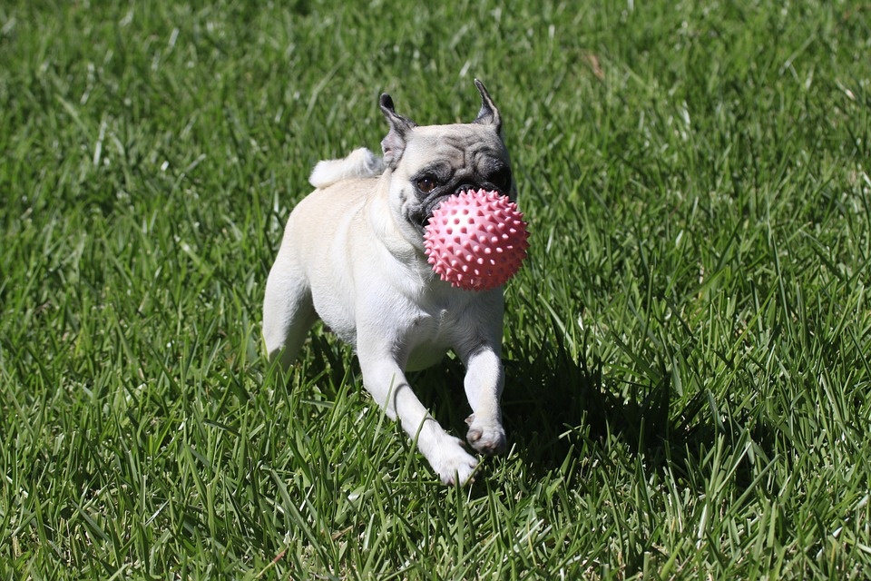 pug playing outside ready to catch ball