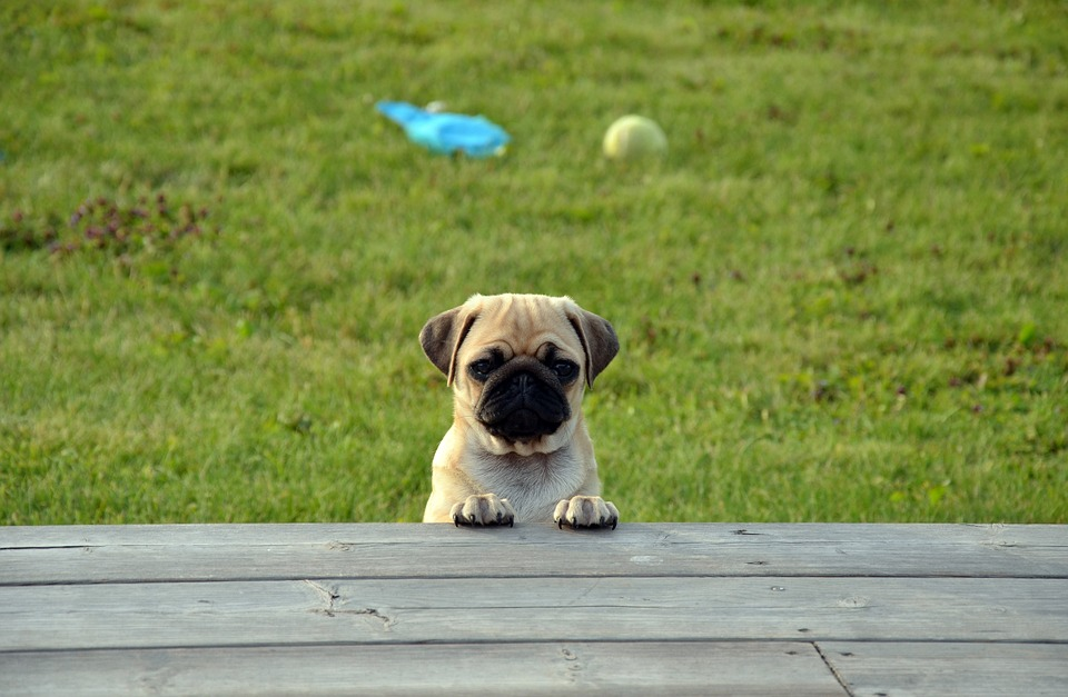 pug puppy peeking over table