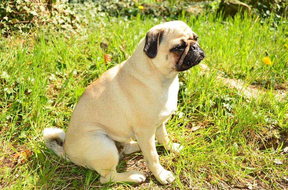 pug sitting outside in the sun