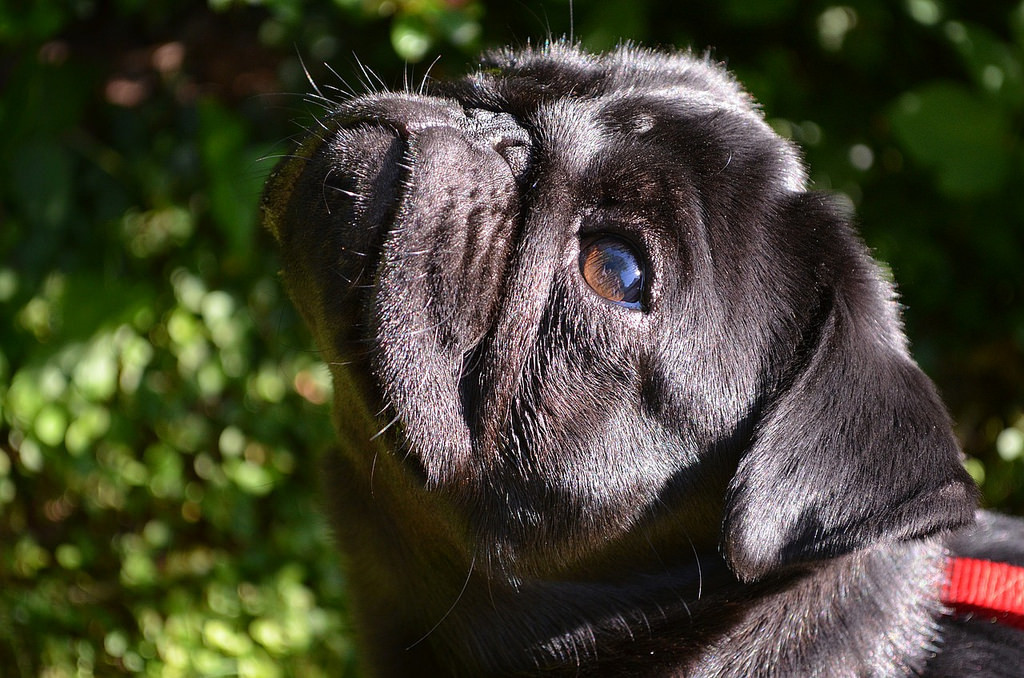 sunshine on your face pug