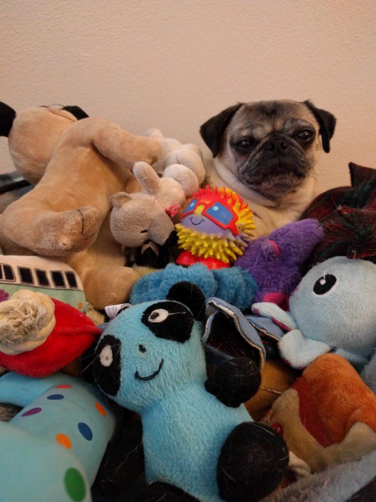 Cute pug with toys