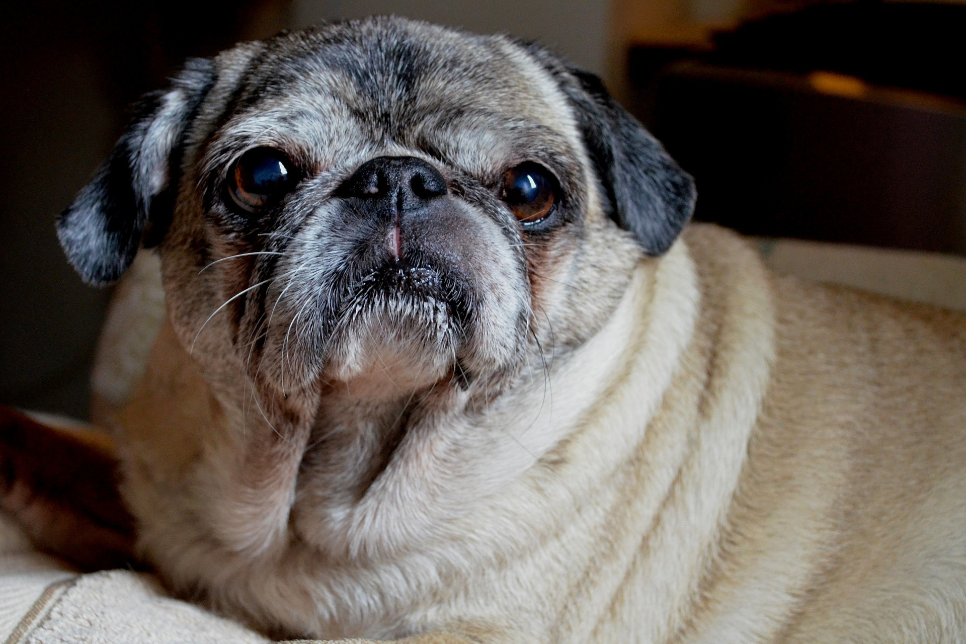 Pug Wishes You A Good Morning About Pug