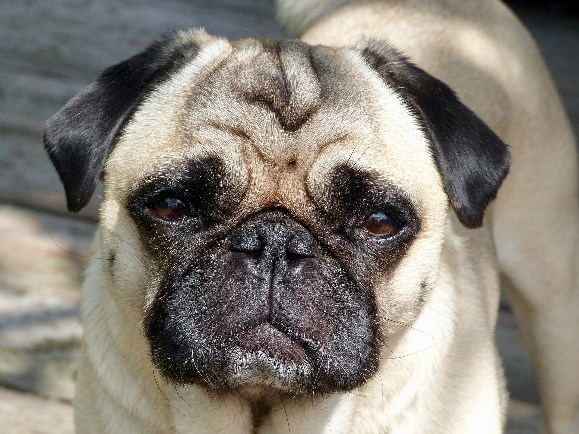 About Pug Cute Pugs Funny Pugs Pug Stories All Pugs