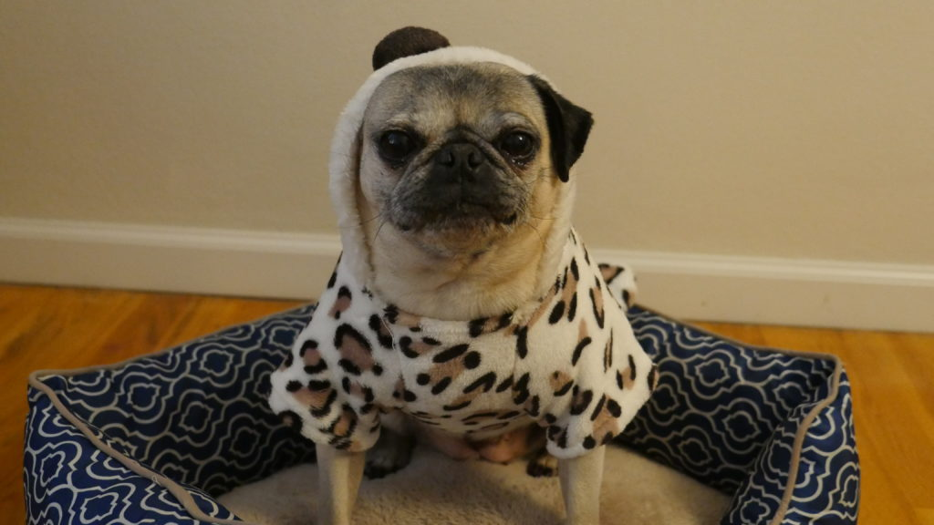 Pictures Of Funny Pugs In Costumes Wwwkidskunstinfo