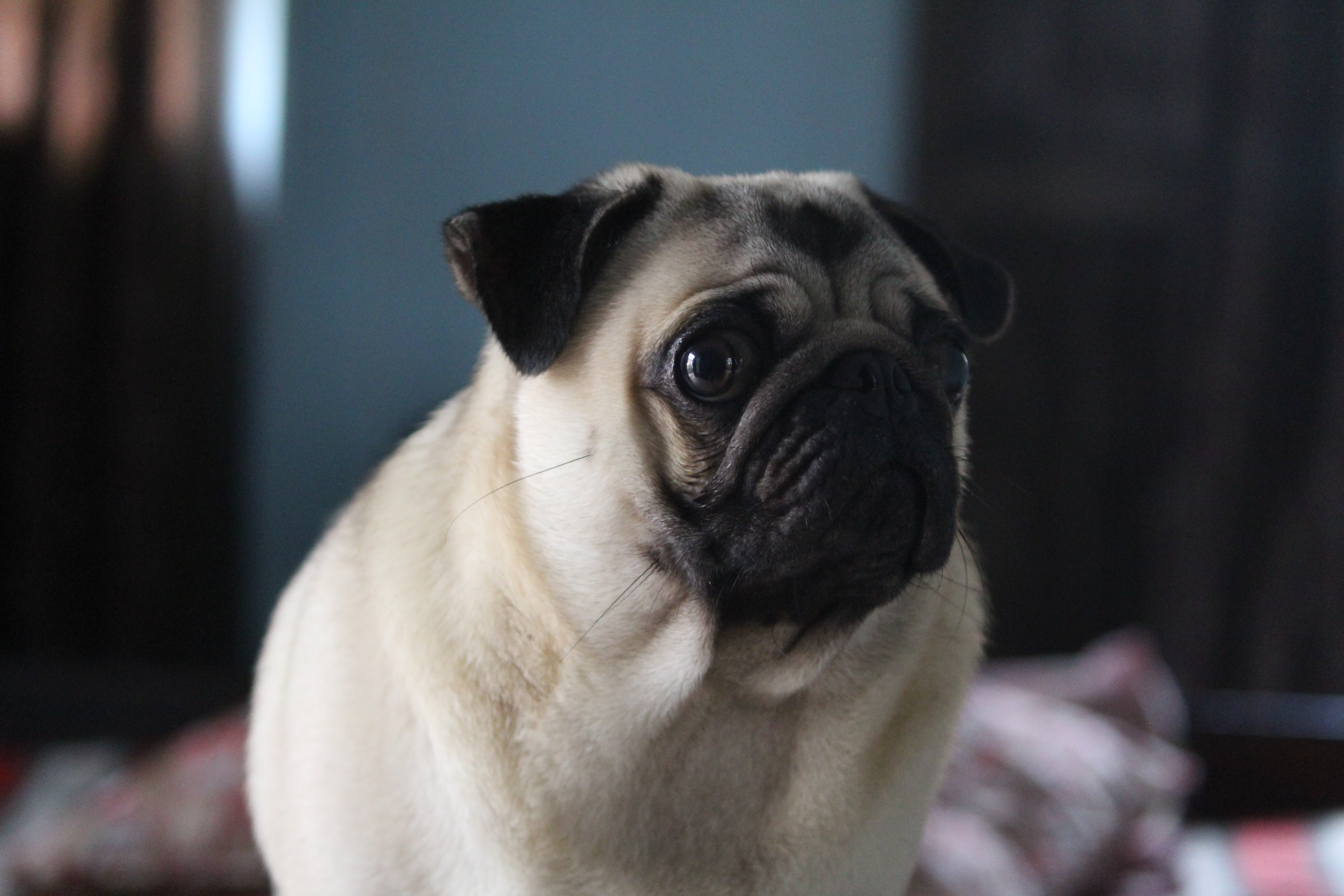 about pug